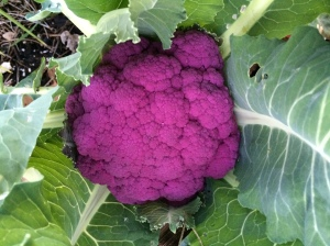 FBCG_PurpleCauliflower_013015