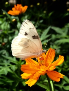 FBCG_Butterflies01_042515