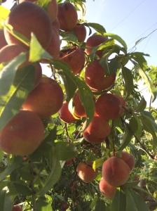 FBCG_Peaches_051915