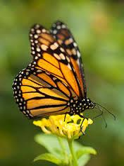 FBCG_Monarchs_031616