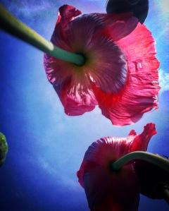 FBCG_040716_Poppies_01
