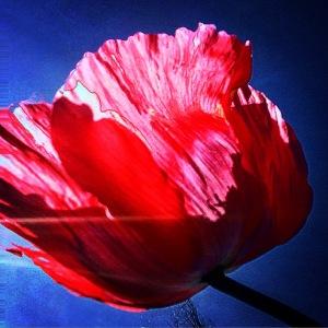 FBCG_040716_Poppies_02