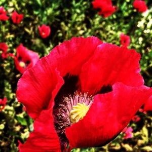 FBCG_040716_Poppies_03