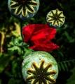 FBCG_040716_Poppies_04